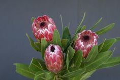 Pink Ice Protea Flower Arrangements, Plants, Garden, Arrangement, Protea, Flowers