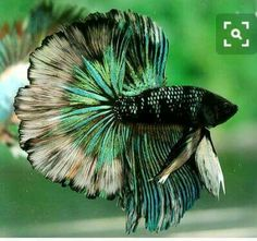 Exquisite betta fish                                                                                                                                                                                 More
