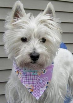 Charlie the West Highland Terrier Pictures 71389