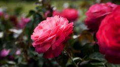 Englische dunkelroten Rosen   Rosen . Garten . roses . garden   Rheinland . Eifel . Koblenz . Gut Nettehammer  