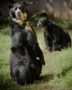 Andean / Spectacled Bear (David P.)