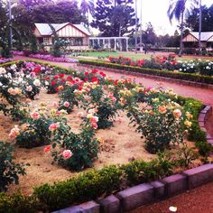 Beautiful Rose Garden in the Newtown Park, Toowoomba, Queenaland, Australia. The scent from these beautiful flowers makes my hayfever really bad but is definately worth it.