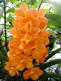 Orchid, Ascocenda Suksamran Sunlight