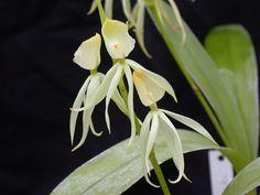 Encyclia cochleata alba | Flickr - Photo Sharing!
