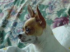 Poncho as a baby Chihuahua