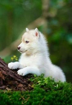 """j-k-i-ng: """"Husky Puppy In A Wild Forest"""" von - Tiere Cute Husky Puppies, Husky Puppy, Funny Puppies, Adorable Puppies, Puppies Puppies, Wolf Puppies, Cute Puppy Breeds, Mastiff Puppies, Dog Breeds"""