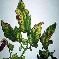 Tratamiento cacero para la cura del hongo Verticilosis en palnta de tomateros ~ Mi azotea verde
