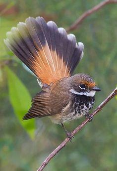Abanico rojizo - Rufous Fantail - Fuchsfächerschwanz - Rhipidure roux