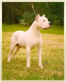 Dogo Argentino - Argentine Dogo : The Original US Breeder Upholding the Standard! : Las Pampas Kennels : Los Andes Kennels : Puppies for Sale