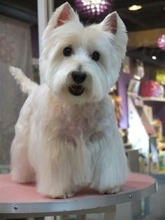 """Click visit site and Check out Best """"Westie"""" Shirts. This website is superb. Tip: You can search """"your name"""" or """"your favorite shirts"""" at search bar on the top. West Terrier, West Highland White Terrier, Highlands Terrier, Terriers, Westies, I Love Dogs, Cute Dogs, Dog Grooming Styles, Cutest Dog Ever"""