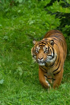 Bawa the tiger. Pet Tiger, Tiger Art, Tiger Pictures, Animal Pictures, Beautiful Cats, Animals Beautiful, Tiger Photography, Wildlife Photography, Animals And Pets