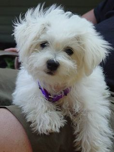 Jack-A-Poo puppy