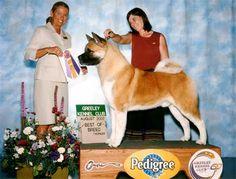 CH Tuscanadeel's Big As Texas Akita Dog, Inu, Texas, America, Dogs, Cute, Pets, Doggies, Kawaii