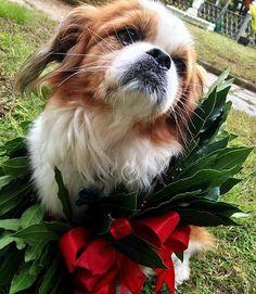 Congratulazioni Bred! (E anche ad Ilaria...) Foto di: @ilaria_b_1992  #BauSocial  15-11-2016 . Ovviamente non poteva mancare la foto Bred con la mia coroncina  . #cavalierkingcharles #cavalier #cavalierking #cavalierkingcharlesspaniel #cavalierlover #pechinese #cane #dog #lovedog #dogs #lovedogs #lifedog #instadog #doglover #ilovemydog #sweetdog #dog #mydog #meticcio #dogsofinsta #instagramdogs #ckcs #laurea #laureata #economiaaziendale #economia #graduation #graduationday