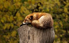 Sleeping fox on tree stump wood poster - animal gift ideas animals and pets diy customize Sleeping Fox, Sleeping Animals, Cute Baby Animals, Animals And Pets, Funny Animals, Wild Animals, Animal Memes, Animals Photos, Nature Animals
