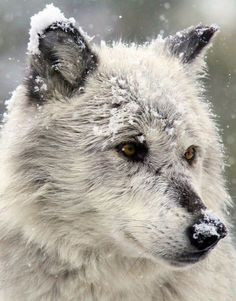 snowy white wolf ... / Wolves ~ Photography