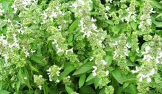 150 nt seeds of basil lime/lime/lemon/herb Seed Shop, Lime And Basil, Easy Care Plants, Seed Germination, Plant Therapy, Herb Seeds, Herbs Indoors, Rare Flowers, Plant Nursery