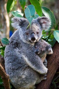 Photo Koala by Gabriella Sjölander on 500px