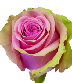 Geraldine #pink #roses #rosaprima Vase Life: 12 - 15 days Stem Length: 50 - 70 cm