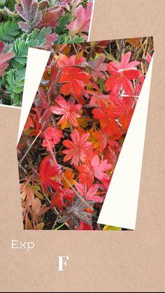 Fall Perennials, Herbaceous Perennials, Flowers Perennials, Fall Containers, Deciduous Trees, Fall Crafts, Garden Projects, Beautiful Gardens, Container Gardening