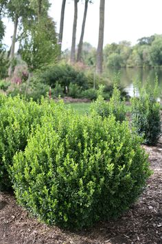 Boxwood care and growing tips to get the most from these versatile evergreen shrubs. Grow beautiful boxwood hedges and topiaries, how and when to prune boxwoods, and boxwood landscaping ideas. Boxwood Landscaping, Backyard Landscaping, Landscaping Ideas, Inexpensive Landscaping, Luxury Landscaping, Landscaping Software, Landscape Design, Garden Design, Landscape Materials