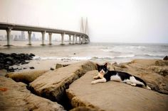 This black and white Tom has the best view among all his city brethren... The vast Bandra Worli sea link. No wonder he looks so smug in his spot. Posted on Meow Mumbai by Anuja Gupta @ganuja11