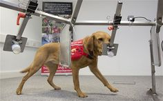 Cancer Detecting Dogs: Research Again Supports Canine Ability to Detect Cancers