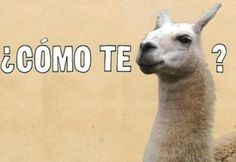 """Story of the name Llama. Spaniards asked the Incas """"Como se Llama"""" (What's the name) regarding the name of the animal. Since the Incas did not understand Spanish, they repeated Llama? so the Spaniards took Llama as the name of the animal. Funny Spanish Memes, Spanish Humor, Spanish Posters, Spanish Grammar, Spanish Language, Lol, Haha Funny, Funny Stuff, Funny Shit"""
