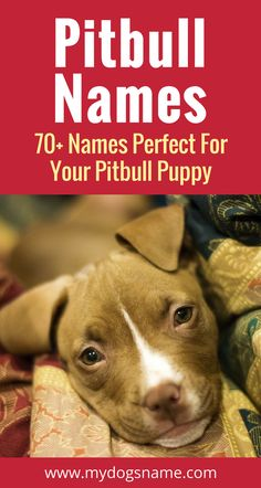 The ultimate list of Pitbull dog names. 70 ideas that range from tough and tenacious to cute and cuddly. Find the perfect dog name! Tough Dog Names, Girl Dog Names, Female Dog Names, Boy Names, Dog Training Techniques, Dog Training Tips, Pitbull Puppy Names, American Staffordshire Terrier, American Bully