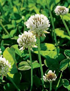 White Clover Seed ...read article to learn why clover is important in lawns!