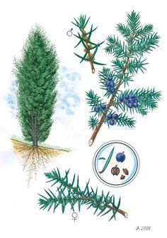 Jalovec obecný - Tipy do lesa - Vojenské lesy a statky dětem Learn To Draw, Botanical Illustration, Teaching Kids, Herbs, Activities, Aster, Education, Drawings, Garden