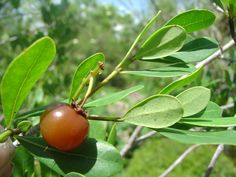 Nance fruit is a fruit tree native to Tropical America. The plant produces a small, sweet yellow fruit which is strongly scented