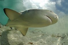 "Female lemon sharks in the Bahamas seem to ""remember"" the place where they were born and return to the spot after years of wandering to give birth to their own young, a new study found. This kind of homing behavior has been observed in other aquatic animals %u2014 salmon famously swim upstream to get back to their own spawning grounds and sea turtles return to the nesting beaches where they were born. After years of speculation, the researchers say this is the first time it's been confirmed…"