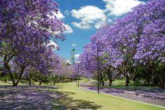 Rows of Jacarandas in bloom at the University of Queensland - Brisbane, Queensland