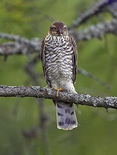 Varpushaukka, Accipiter nisus - Monoskylä, virrat - 8.7.2017 Sparrowhawk, Birds Of Prey, Bird Houses, Finland, Natural Beauty, Scenery, Nature, Tattoos, Beautiful