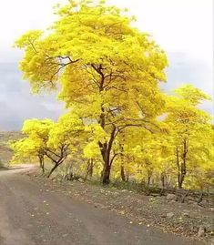 The National Tree of Venezuela, bursts forth into blazing yellow to announce the rainy season is about to begin. Beautiful World, Beautiful Places, Beautiful Roads, Beautiful Beautiful, Parks, Yellow Tree, Autumn Scenery, Colorful Trees, Tree Forest