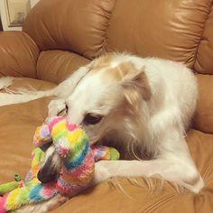 お姉ちゃんが一人でゆっくり遊べる時間️まだまだ体格差がありすぎて中々本気でいっしょに遊べないね #犬 #ボルゾイ #borzoi #whippet #ウィペット #大型犬 #大型犬のいる生活 #サイトハウンド #sighthound #愛犬 #いぬら部 #ふわもこ部  #アービィ #Arbie #Sophie #ソフィー