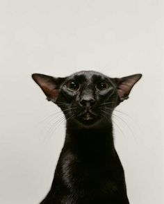 * * CAT SNIP: The Oriental Shorthairs, like all the Siamese group breeds, have a long, tubular body, the same width from shoulder to hip. Even their toes are long and slender. Despite their sleek shape, their bodies are muscular and firm, shown off by the luster of their short, close lying coat.
