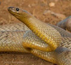 Oxyuranus microlepidotus - Inland Taipan / Fierce Snake Reptiles, Amphibians, Lizards, Inland Taipan, Snake Venom, Viper, Natural History, Predator, Hulk