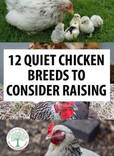 12 Quiet Chicken Breeds to Consider Raising * The Homesteading Hippy Quiet chicken breeds suggestions for suburban homesteaders, and preppers: Buff Orpingtons, Australorps, Wyandottes, Ameraucana and more. Portable Chicken Coop, Best Chicken Coop, Backyard Chicken Coops, Chicken Coop Plans, Building A Chicken Coop, Chicken Types, Urban Chicken Coop, Chicken Roost, Chicken Coup