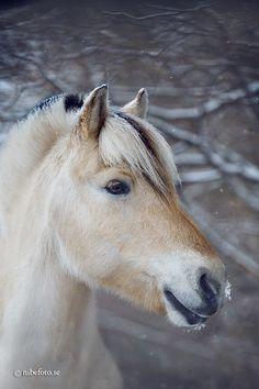 Fjord horse | Flickr - Photo Sharing!