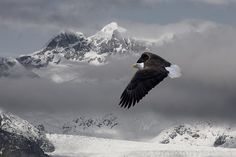 Adult Photograph - Bald Eagle Soars Above The Snow And Ice by John Hyde