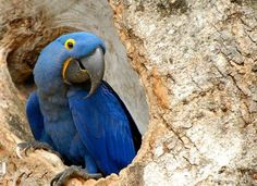 A Hyacinth Macaw In A Tree.