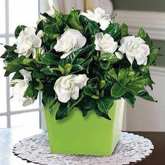 Heavenly Scented Evergreen Gardenia (6-inch): Arrives studded with buds and ready to burst into bloom! Snugly fitted into an attractive ceramic cachepot you can use again and again.