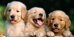 Golden Retriever Puppies – 5 Things To Search For When Purchasing A Puppy Love My Dog, Baby Animals, Funny Animals, Cute Animals, Game Mode, Big Puppies, K Wallpaper, Animal Wallpaper, Real Dog