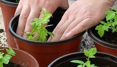 Zahradníkův kalendář na celý rok: kdy sít a sázet zeleninu, květiny, dřeviny? - Užitková zahrada Bonsai, Flora, Herbs, Plants, Gardening, Bonsai Trees, Garten, Herb, Planters