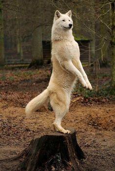 Wolf Photo By Rainer Prause
