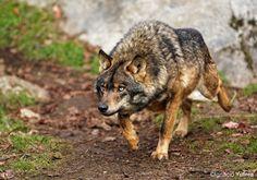 Iberian Wolf (c) by Ignacio Yúfera, via 500px