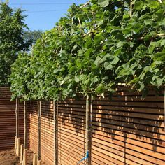 linden trees - Small Home Exterior Backyard Plants, Backyard Fences, Garden Fencing, Outdoor Landscaping, Fancy Fence, North Facing Garden, Small House Exteriors, Garden Screening, Small Courtyards