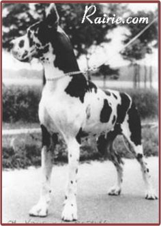 """CH  BS 72 Kalif von der Rotburg, harl. Kalif's father Cyrus aus dem Butz, was ALSO a winner of that esteemed Bundessieger title (in 1965), but the surprise is that Cyrus was a FAWN. Kalif had a black brother, Belgian CH Karim von der Rotburg. Kalif was bred to the harl """"Fee Imperial"""" and produced the great """"CH Quasi Imperial."""""""